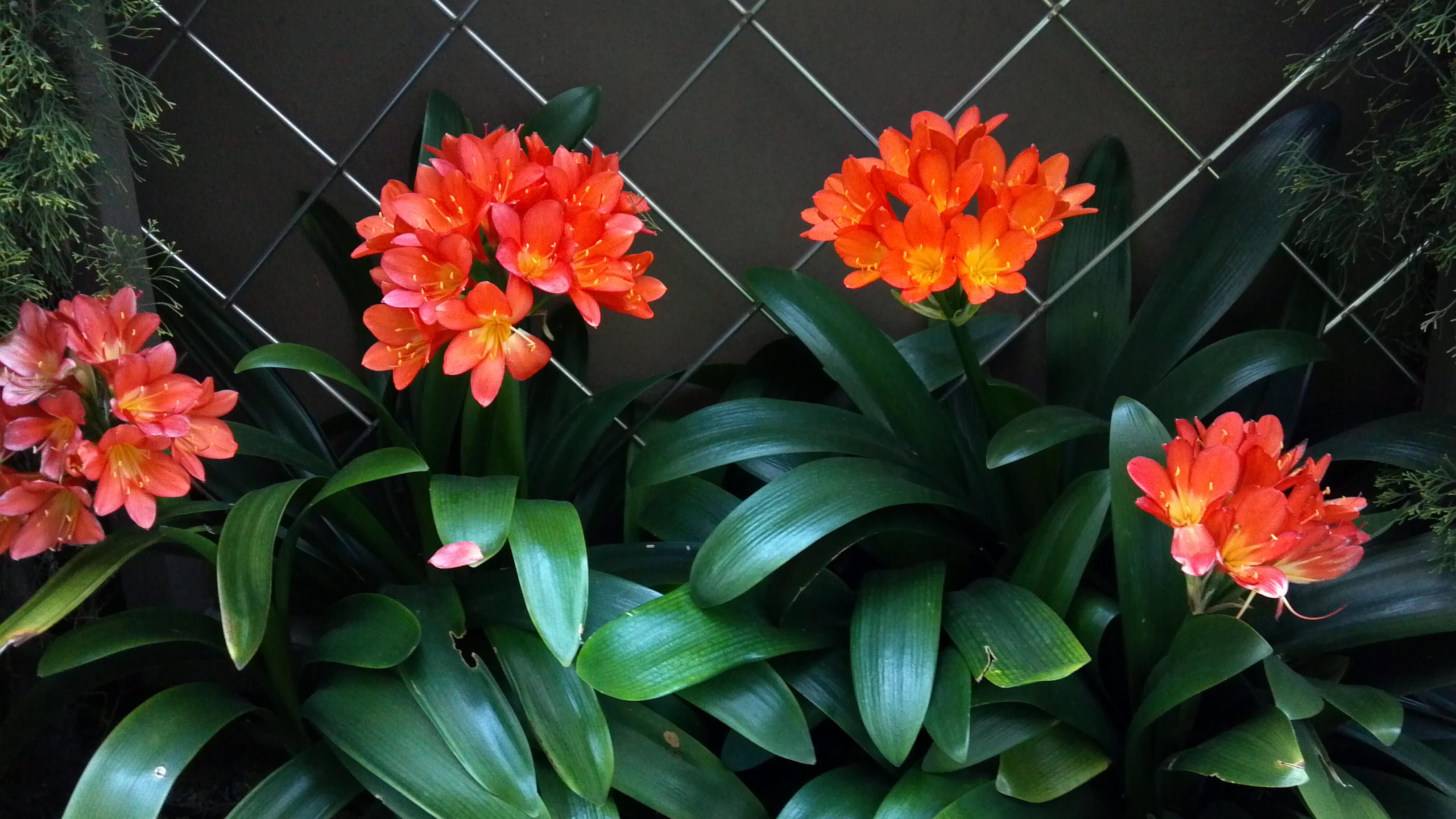 Clivia in full bloom North Beach HOA