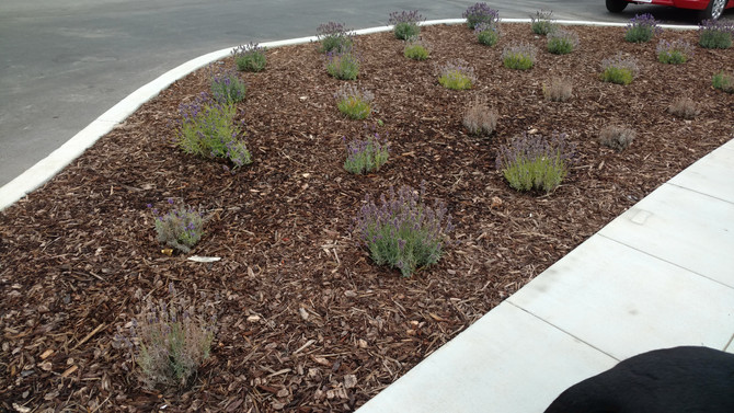 Lavender - poor choice for Eastern San Francisco