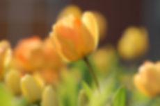 tulip-690320.jpg