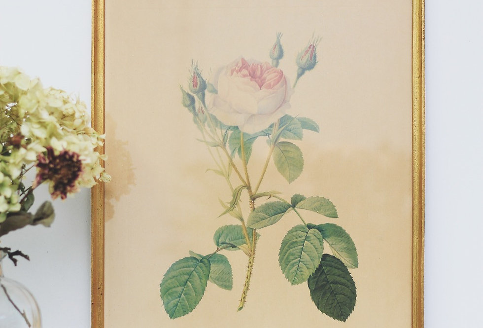 WHITE ROSE IN BLOOM ROSA GALLICA BY LANGOIS SCULP VINTAGE  LITOGRAPH 1960s
