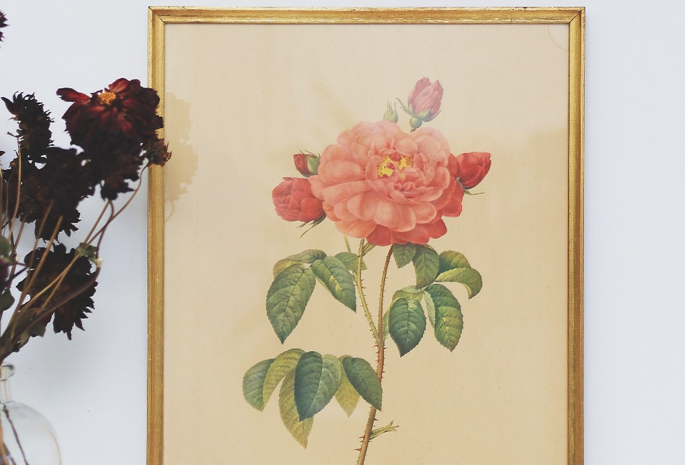 Red Roses in bloom Rosa Gallica by Langlois Sculp vintage lithograph 1960's