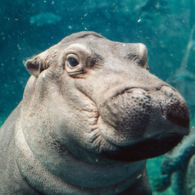 GIMME SOME HIPPO LOVIN'