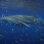 whaleshark1.png