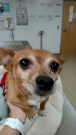 mixed chihuahua at vet.jpg
