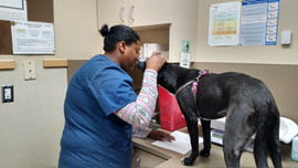 Maggie May sneaks a kiss for vet tech.jp
