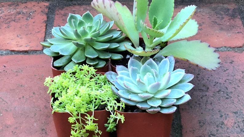 4 Pack Succulents
