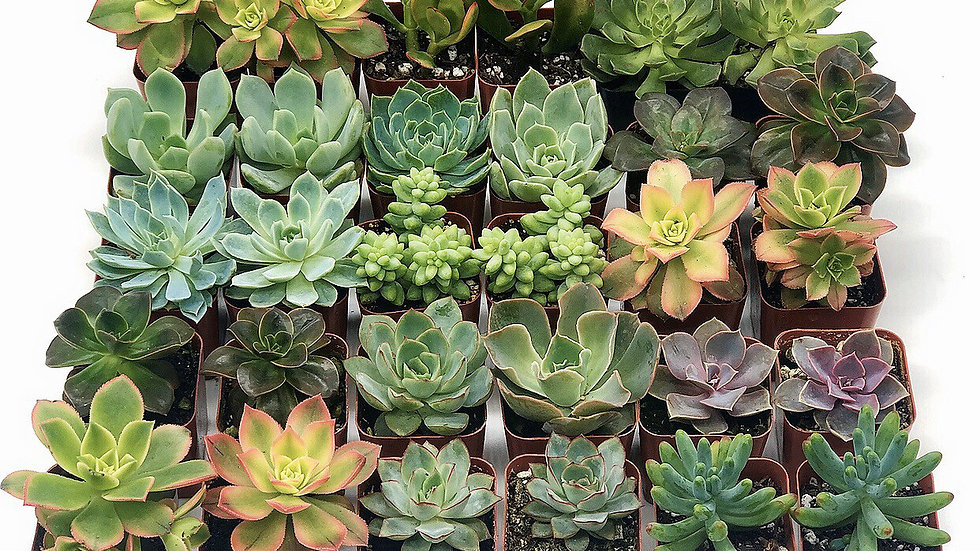 30 Assorted Succulents