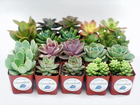 20 pack SoCal Succulents Fallbrook Succu