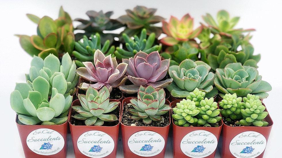 20 Assorted Succulents