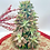 Thumbnail: Succulent Christmas Tree