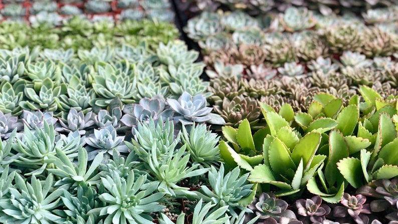 40 Assorted Succulents