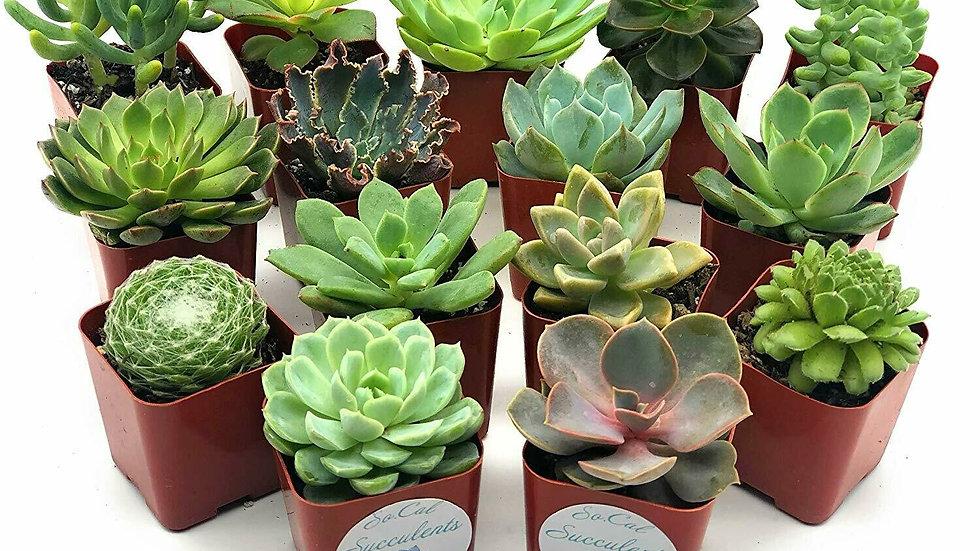 15 Assorted Succulents