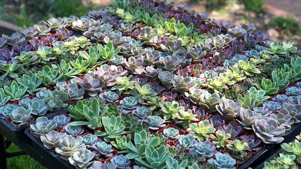 50 Assorted Succulents