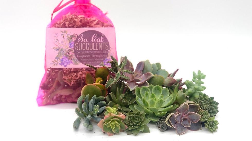 10 Succulent Cuttings