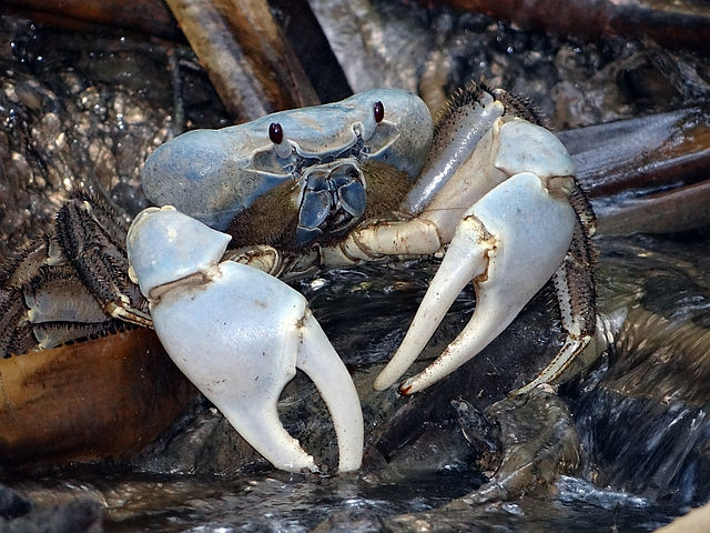 blue crab, discoplax celeste, Christmas Island crabs, Max Orchard