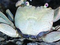 Christmas Island crabs