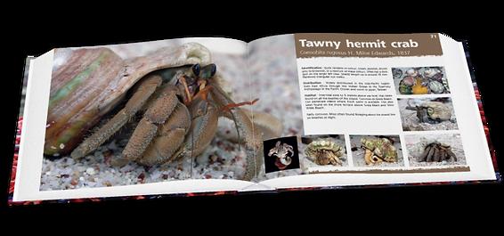 Tawny hermit crab, Christmas Island crabs