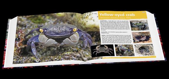 Yellow-eyed crab, crabs, Christmas Island crabs