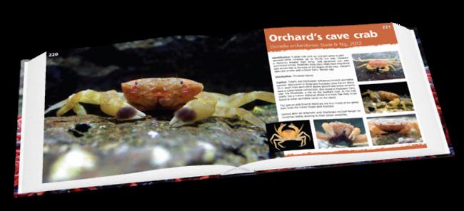 Orchard's cave crab, crab, Christmas Island