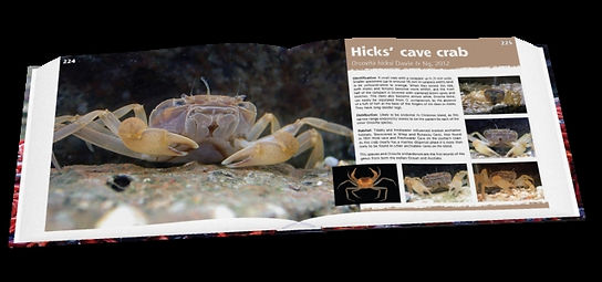 Hicks' cave crab, crab, Christmas Island