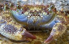 Christmas Island crabs, Hairy banded crab, crab sensory organs