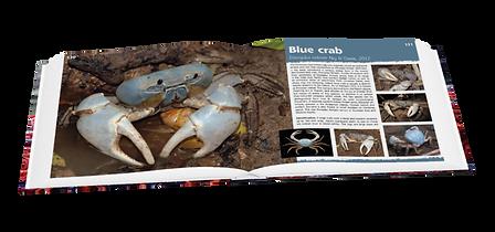 Blue crab, Christmas Island crabs, crabs, Christmas Island, blue crab