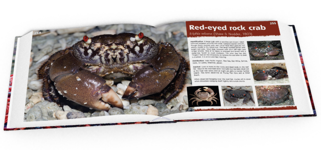 Red-eyed rock crab, crabs, Christmas Island crabs