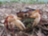 Christmas island crabs, winifred beach, egeria point, Christmas Island, Max Orchard