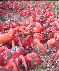 Christmas Island crabs, Red crab, migrating, Gecarcoidea natalis, Christmas Island, Max Orchard