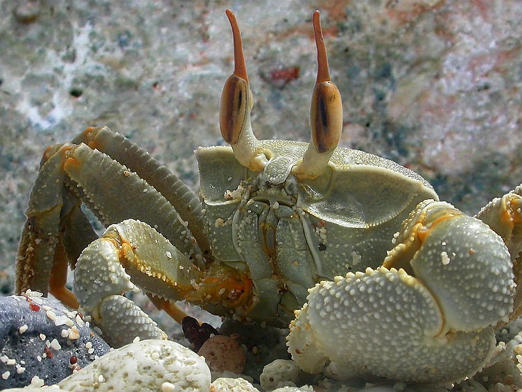 Christmas Island crabs, ghost crab, ocypode, Christmas Island, Max Orchard