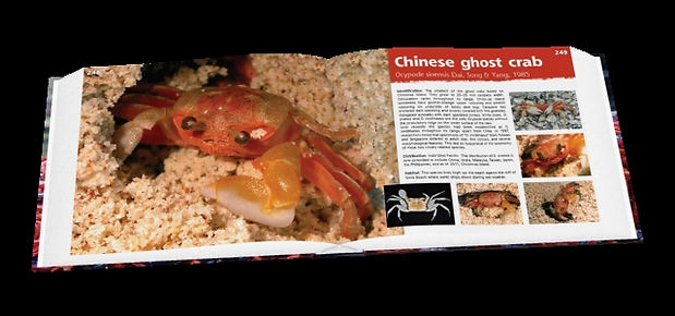 Chinese ghost crab, crab, Christmas Island