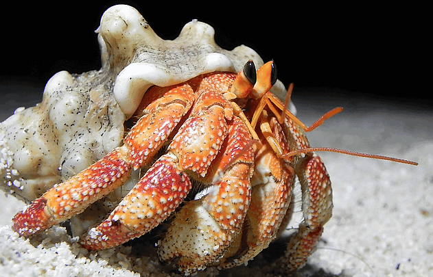 Christmas Island crabs, Red hermit crab, Coenobita perlatus, crab, Christmas Island, Max Orchard