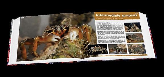Intermediate grapsus, crabs, Christmas Island crabs