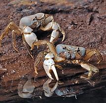 Christmas Island crabs, Blue crab, Discoplax celeste, Christmas Island, Max Orchard