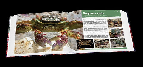 Christmas Island crabs, crab, Christmas Island, grapsus crab