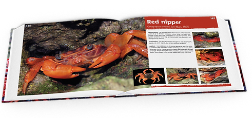 Red nipper, crab, Christmas Island