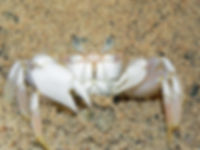 Christmas Island crabs, ghost crab, ocypode kuhlii, Christmas Island, Max Orchard