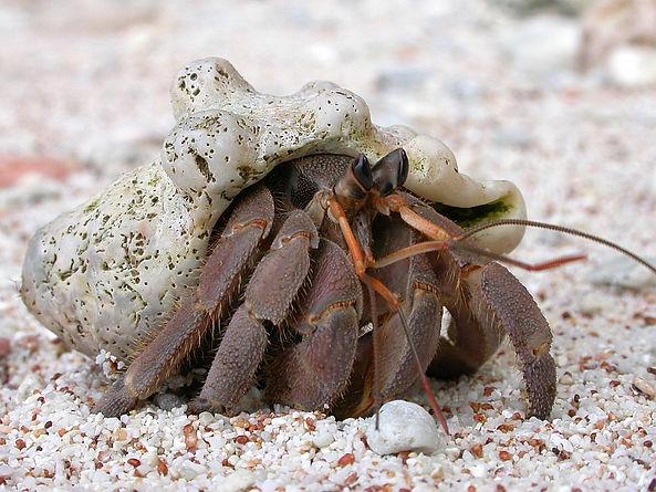 Christmas Island crabs, Tawny hermit crab, Coenobita rugosus, Christmas Island, Max Orchard