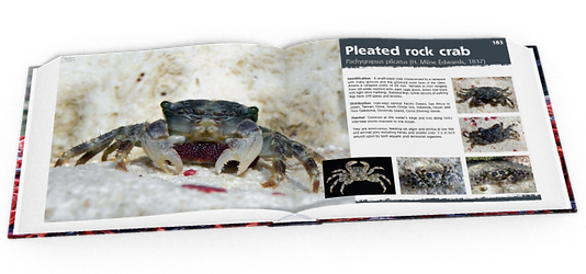 Pleated rock crab, crabs, Christmas Island crabs