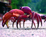 Christmas Island crabs,Red crab, Gecarcoidea natalis, crab walking