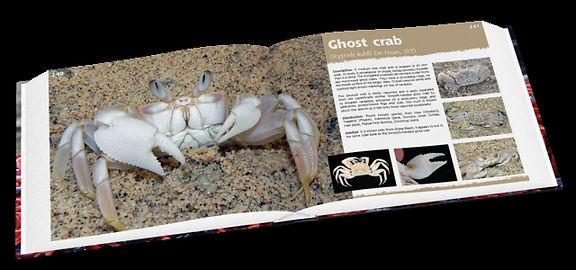 Ghost crab, Ocypode kuhlii, Christmas Island