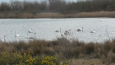 Swans in the top lagoon at the Newstead and Annesley Country Park.