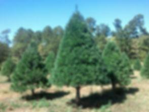 white.pine.field.jpg