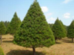 Virginia_Pine.jpg
