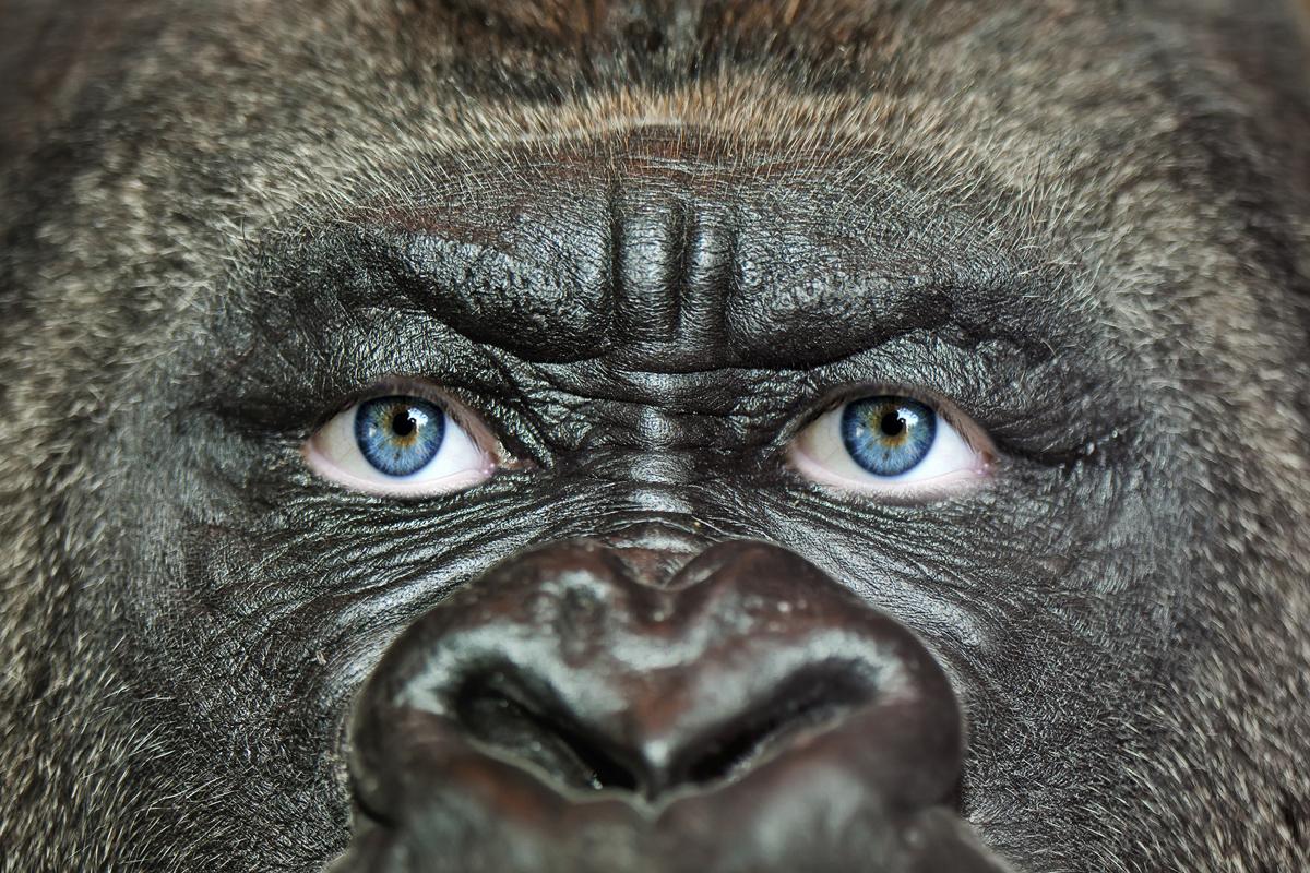 ape gorilla human eyes