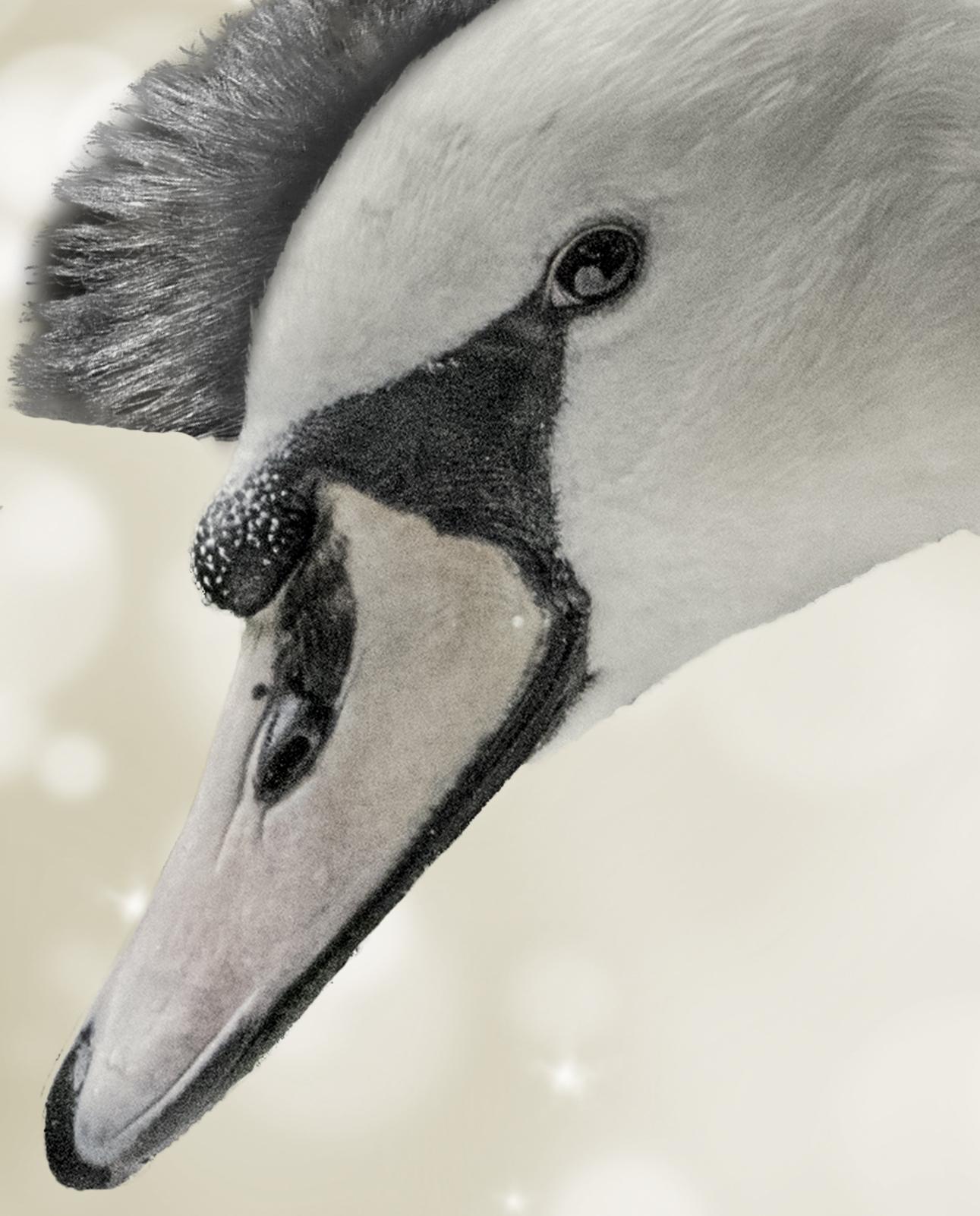 Malevolent swan