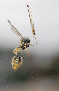 Eviscerated wasp on my office window
