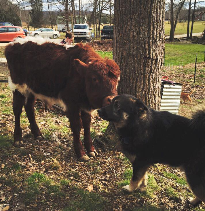 Cleve the Cow & Bo the Farm Dog