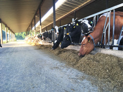 Unsere Kühe beim Fressen