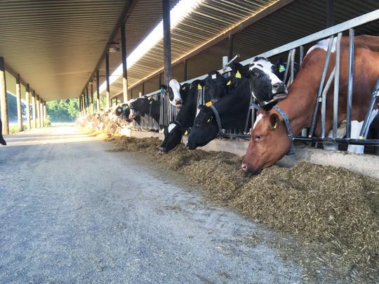 Ein Blick in den Kuhstall